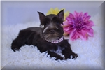 Picture of AKC ~~Lil Miss Sugar~~