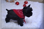 Picture of AKC ~~Handsome Lil Maverick~~