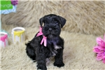 Picture of AKC ~~Lil Miss Lacie~~