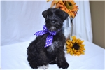 Picture of AKC ~~Lil Miss Roxie~~
