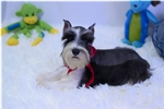 Schnauzer, Miniature for sale