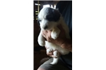 Picture of AKC Great Pyrenees Pup -Male