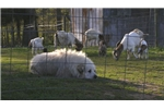 Picture of AKC Great Pyrenees Pup -Female