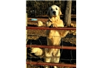 Picture of OSCAR - AKC Great Pyrenees Pup -Male