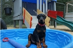 Picture of AKC European Doberman Pups from Champion Parents