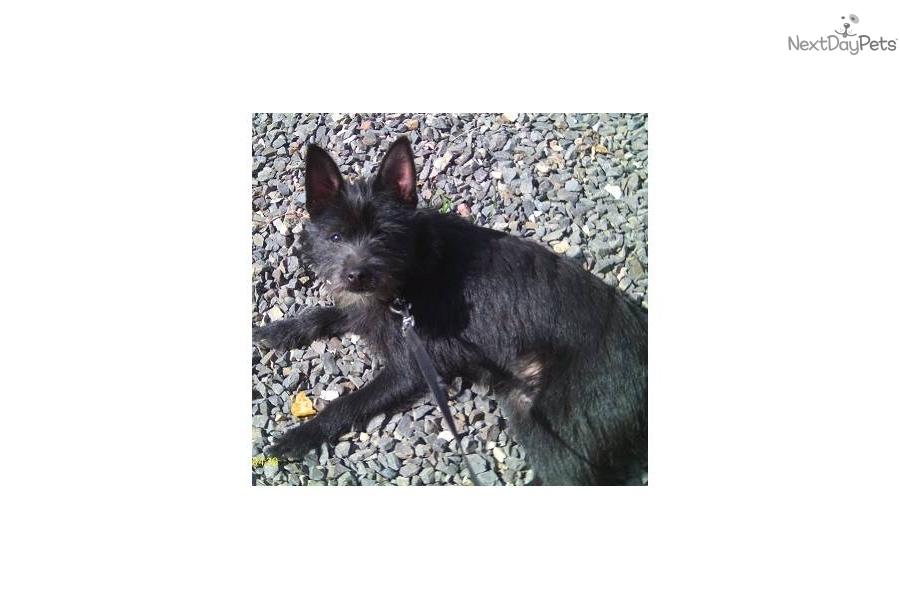 Schipperke Chihuahua Puppies