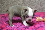 Picture of 'Scrappy', Red & White , Male, Boston Terrier, CKC