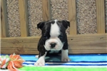 Picture of a Boston Terrier Puppy