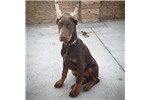Picture of European Doberman puppies  & Free ear cropping