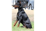 Picture of European big male doberman puppy health tested!!