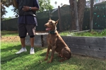 Picture of All Dark Red WORKING line Euro doberman puppies