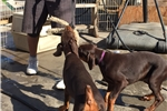 Picture of 9wk old AKC Dark red Euro female doberman puppies