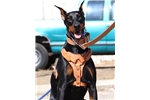 Doodleman Pinscher for sale