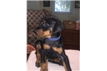 Picture of European Doberman puppies from Champion lines