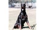 Picture of Full AKC Registration European Doberman puppies