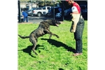 Picture of ALL WORKING BIG dutch shepherd puppies super drive