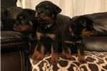 Picture of 100% European Rottweiler Puppies Big Head AKC Regs