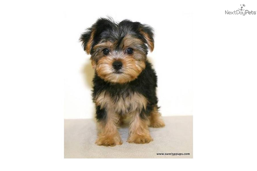 6 Pound Yorkie Related Keywords & Suggestions - 6 Pound ...