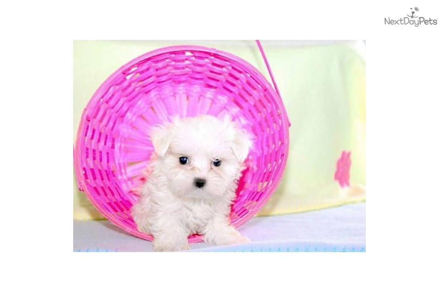 ... for sale for $599. Fiona our Tcup Maltese under 5 pounds full grown