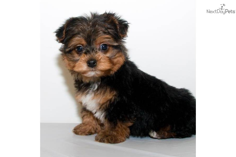 Toy Yorkie Poo Black Pictures to Pin on Pinterest - PinsDaddy