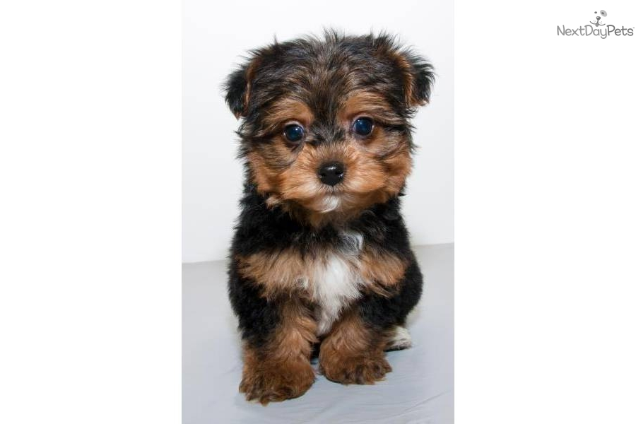 Teacup Yorkie Poo Puppies For Sale | hairstylegalleries.com