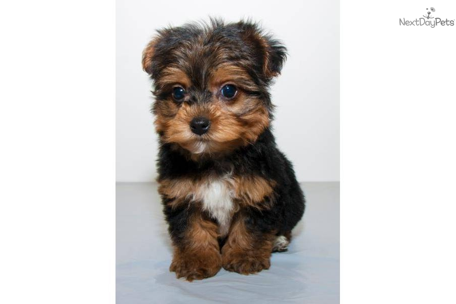Yorkie Poo Teacup Yorkie Dogs Teacup Yorkie Dogs | Dog Breeds Picture