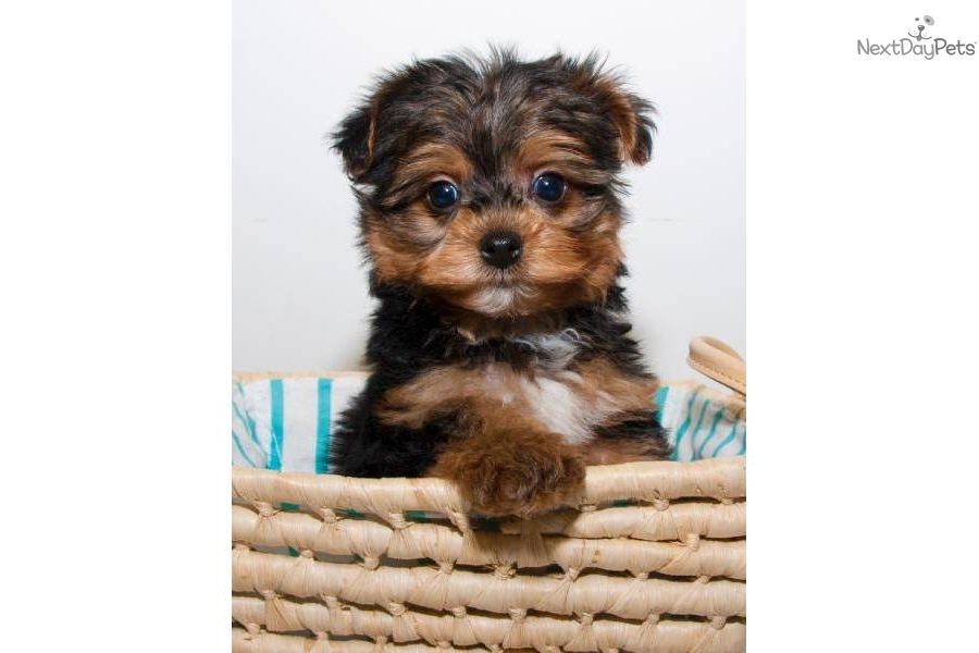 Teacup yorkie poo puppies for sale in washington