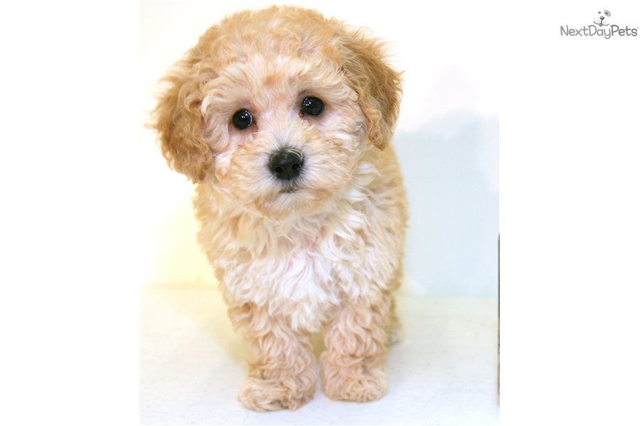 Poodle, Toy puppy for sale near Columbus, Ohio | 547bfe0e-5851