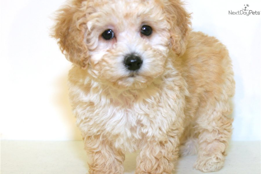 Poodle, Toy puppy for sale near Columbus, Ohio   547bfe0e-5851