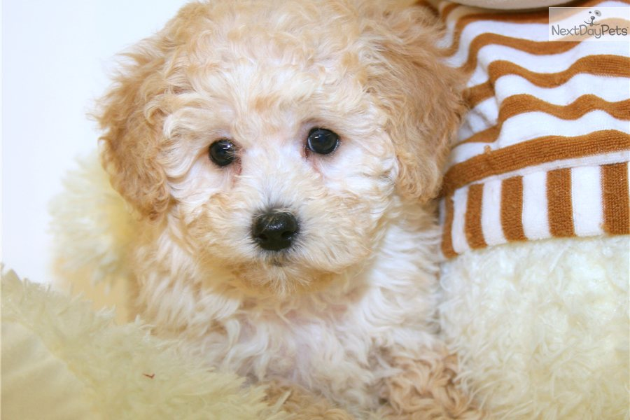 The gallery for --> Apricot Toy Poodle Full Grown