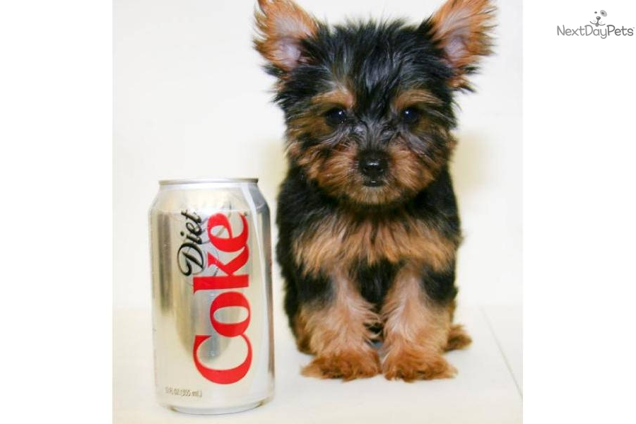 Teacup Yorkie Weight | stud dog male teacup weight yorkie ...