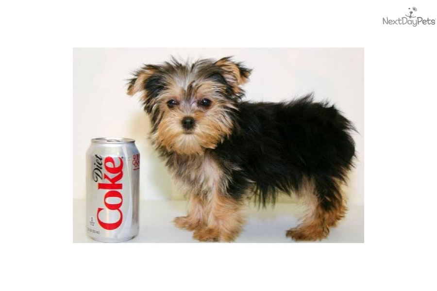 Girl Dog Names For Teacup Yorkie