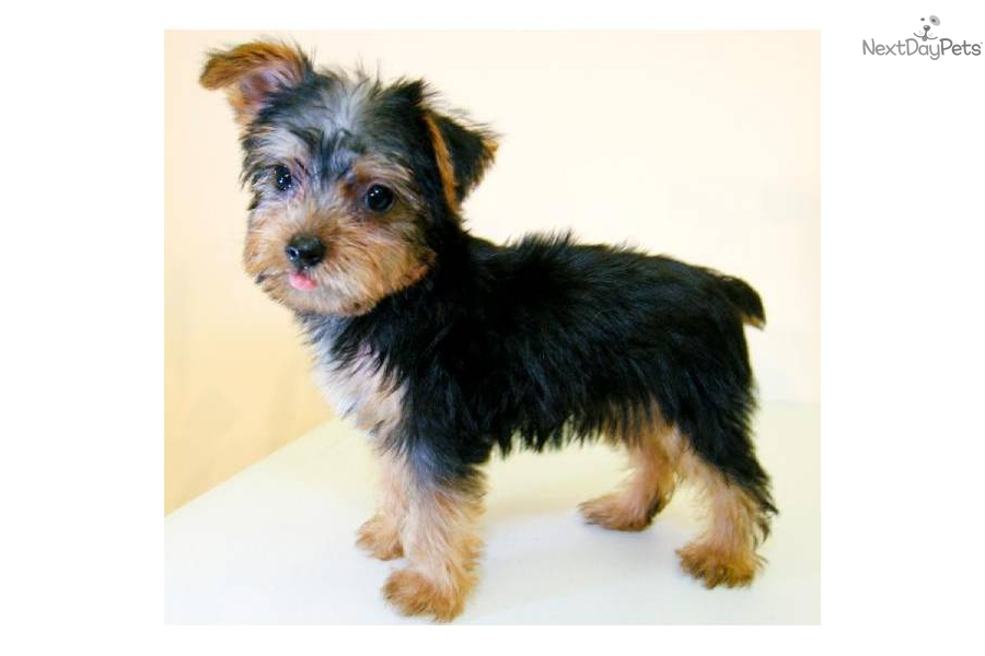 Yorkshire Terrier Mix Pit Bull | hairstylegalleries.com