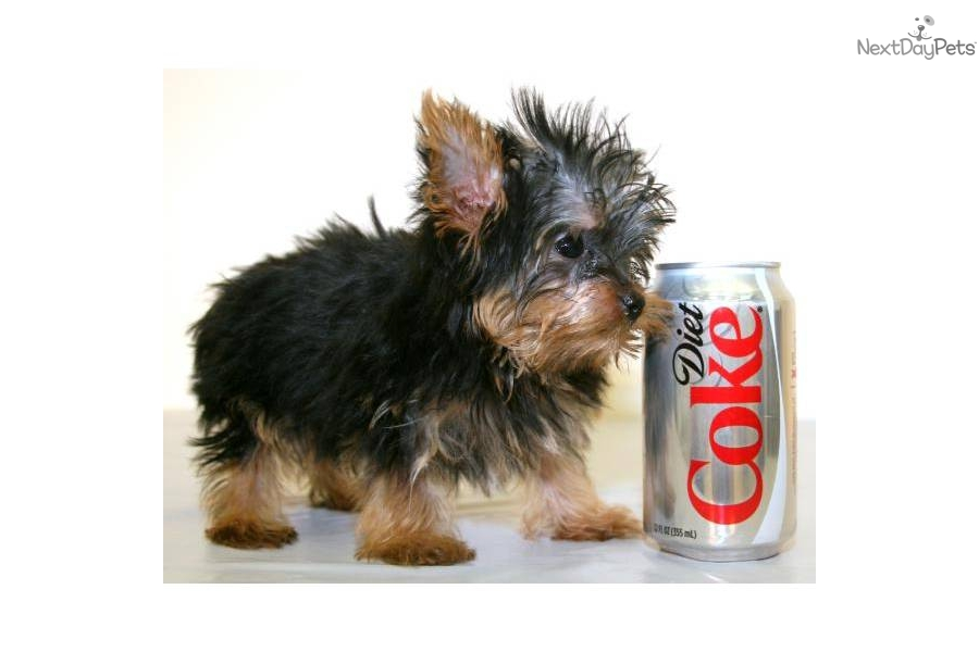 Terriers under 25 pounds dog breeds picture