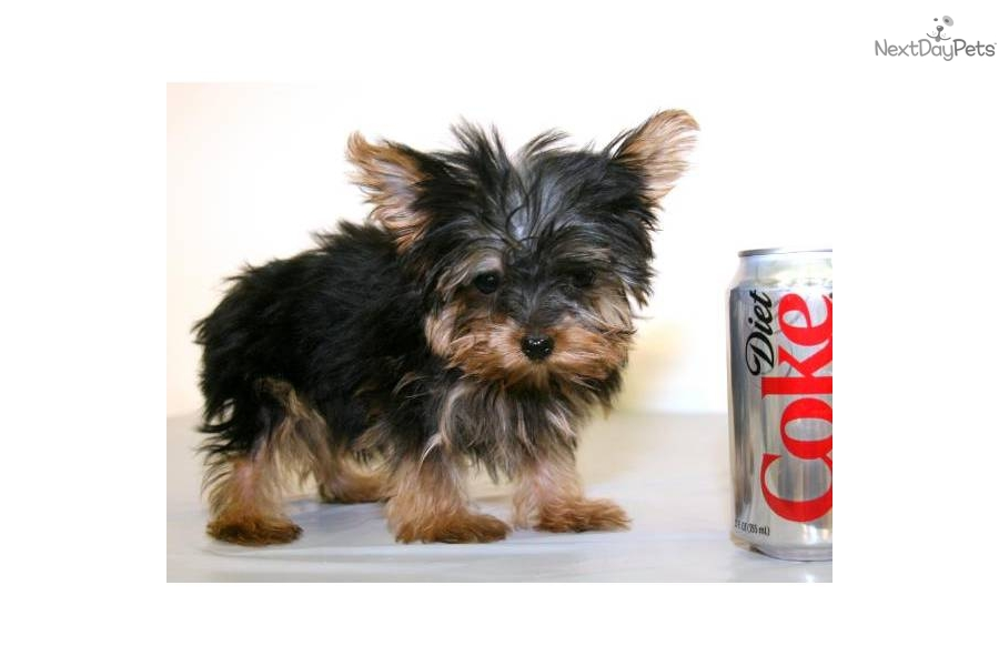 Teacup Lover boy Male Yorkie under 2.5 pounds full
