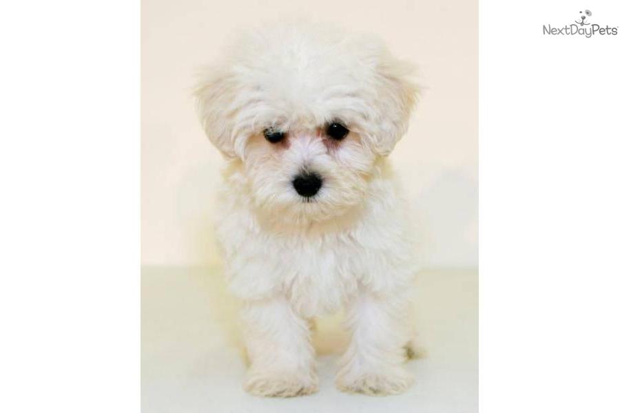 Meet MAx a cute Malti Poo - Maltipoo puppy for sale for ...
