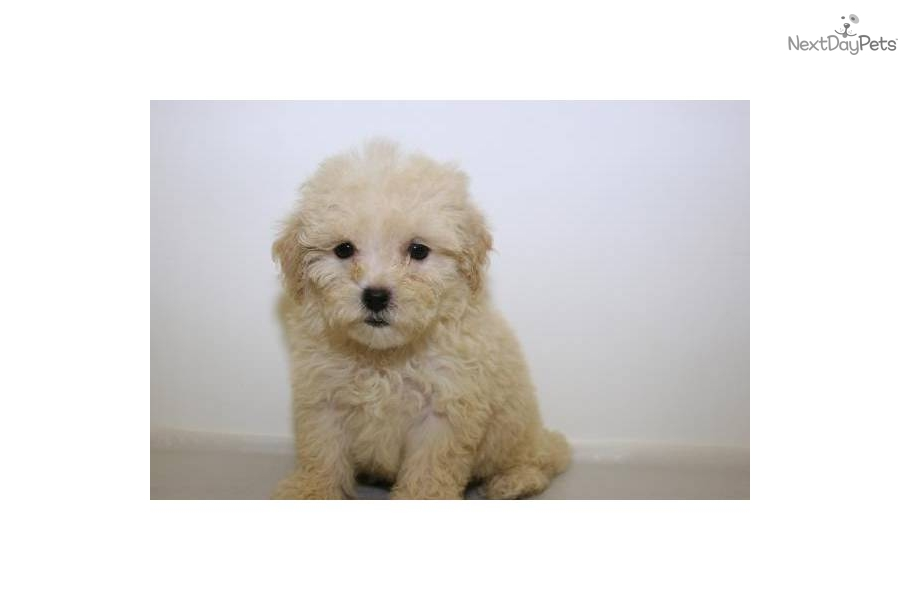 Meet Michelle a cute Havanese puppy for sale for $350 ...