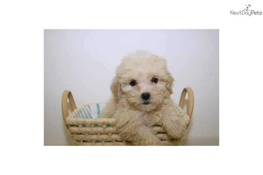 meet michelle a cute shihpoo shihpoo puppy for sale for