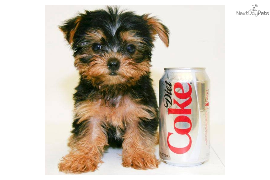 meet monte a cute yorkshire terrier   yorkie puppy for sale for