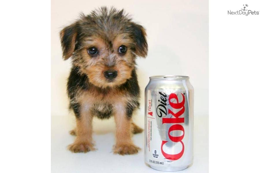 teacup-ronnie-our-yorkie-under-5-poundsdog-yorkiepoo-yorkie-poo-puppy