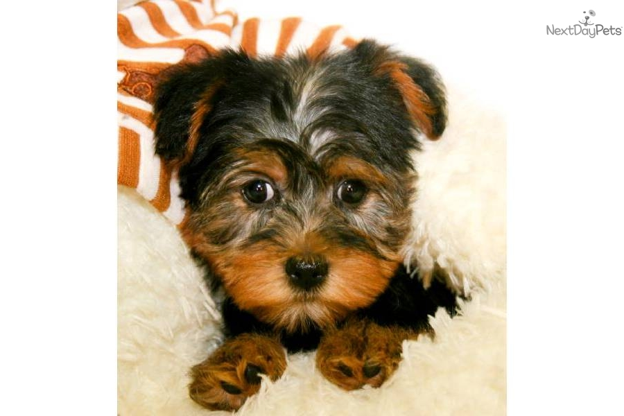 Yorkshire Terrier - Yorkie Puppy for Sale: Teacup Sammy our Wonderful ...