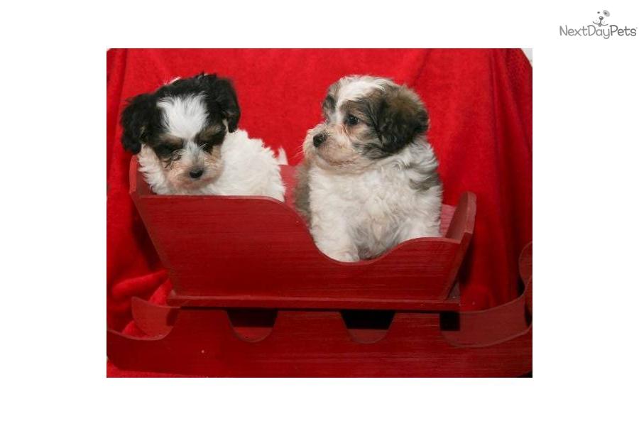 White Teacup Yorkie Puppies Sale