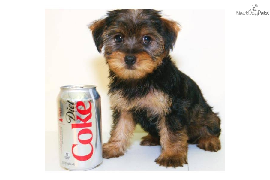 Yorkshire Terrier - Yorkie puppy for sale near Columbus, Ohio ...