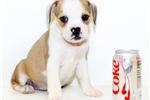 Picture of CeCe our Female Bulldog