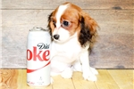 Picture of Kevin our male Cavalier,WWW.SUNRISEPUPS.COM