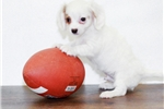 Picture of Tommy our Male Cavalier, WWW.SUNRISEPUPS.COM