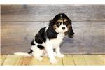 Picture of William our Male Cavalier,WWW.SUNRISEPUPS.COM
