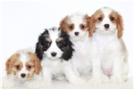 Picture of Katie our female Cavalier
