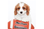 Picture of Elizabeth our female Cavalier