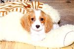 Picture of Devin our male Cavalier, WWW.SUNRISEPUPS.COM